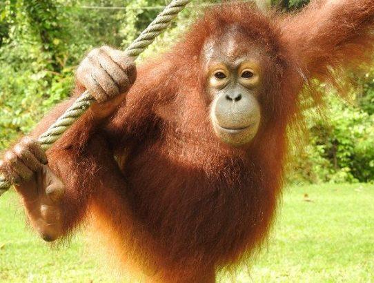 Chikita the Orangutan