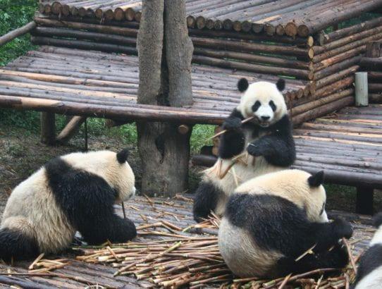 Chengdu the Panda