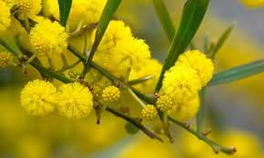 Wattle Artwork